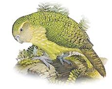 какапо, ара совиних (Strigops habroptilus)