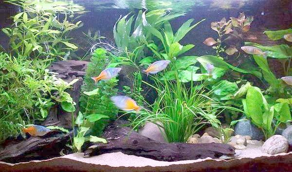 Прісноводний акваріум, фото зміст риб фотографія