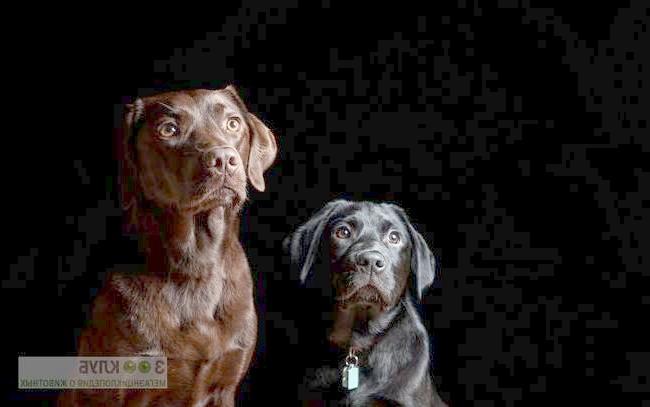 Шоколадний і чорний лабрадор ретривер, фото фотографія картинка шпалери