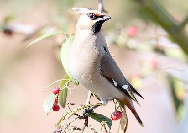 Омелюх (Bombycilla garrulus), картинка птиці зображення