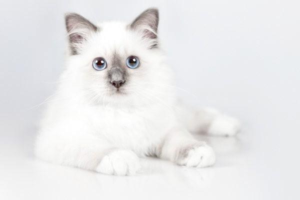 Кошеня бірманської кішки, фото породи кішок фотографія