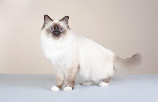 Священна бірма, бірманська кішка, фото породи кішок фотографія картинка
