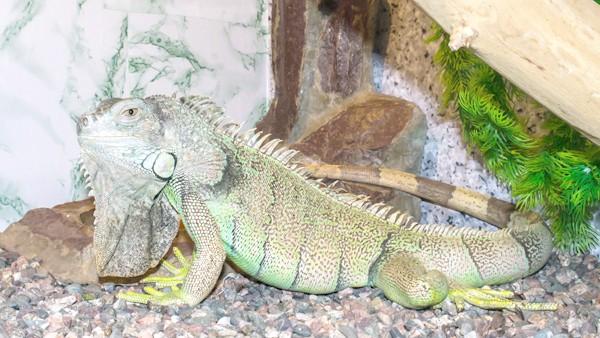 Зелена ігуана, фото рептилії фотографія