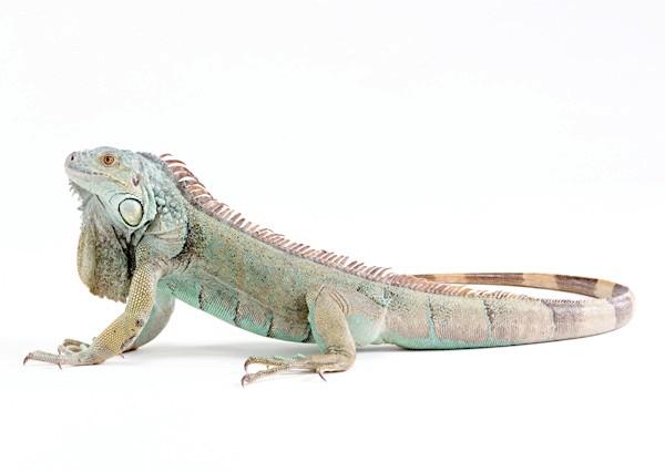 Зелена ігуана (Iguana iguana), фото плазуни фотографія картинка