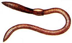 Тип: annelida lamarck, 1809 = кільчасті черви, або аннелиди