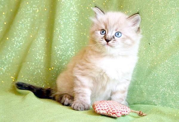 Кошеня сибірської кішки, фото поведінка кішки фотографія