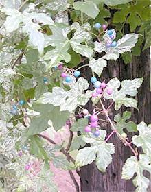 Віноградовник короткоцветоножковий, Віноградовник уссурійський (Ampelopsis brevipedunculata), фото, фотографія з davesgarden.com