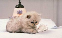Виховання кішки