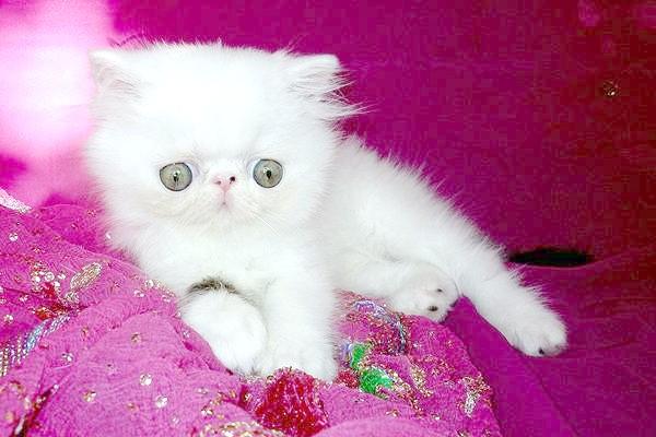 Екзотичний короткошерстий кошеня, фото догляд за кошенятами, фотографія в'язка кішки