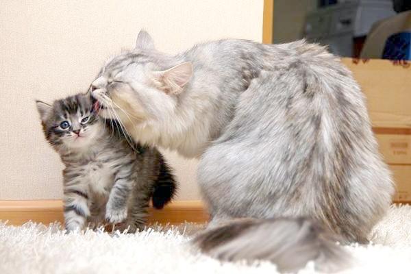 Сибірська кішка з кошеням, фото догляд кошенятами фотографія