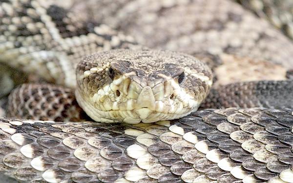 Гадюка, фото плазуни змії фотографія