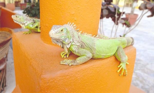 Зелені ігуани, фото ящірки фотографія картинка