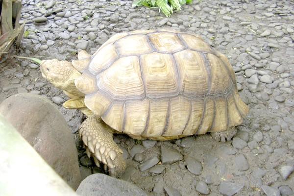 Коричнева черепаха (Manouria emys), фото рептилії фотографія картинка