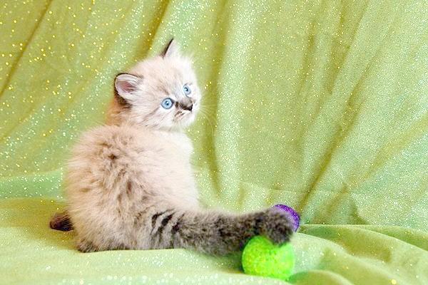 Кошеня сибірської кішки, фото породи кішок фотографія