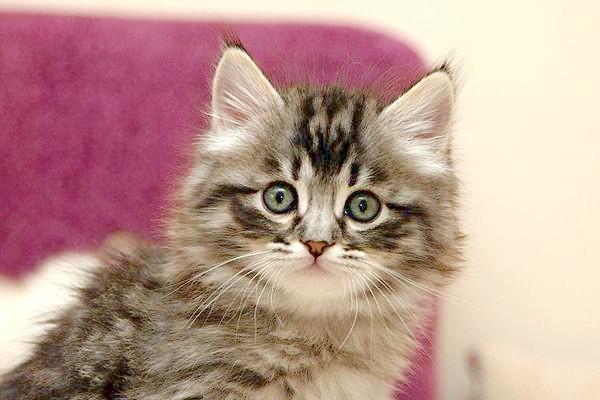 Сибірський кошеня, фото кошенята фотографія