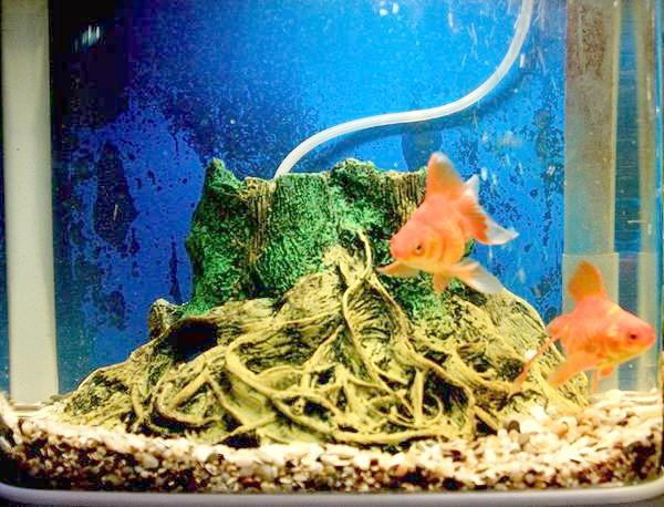 Акваріум із золотими рибками, фото зміст акваріумних риб фотографія