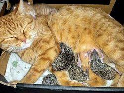Навіщо деякі кішки ссуть шерсть?