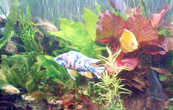 Акваріум з ціхлідамі, фото зміст акваріумних рибок фотографія