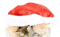 Три сплячих кошеня під різдвяною шапкою, фото фотографія картинка шпалери