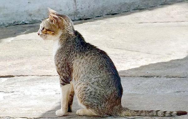 Цейлонська кішка, фото породи кішок зображення