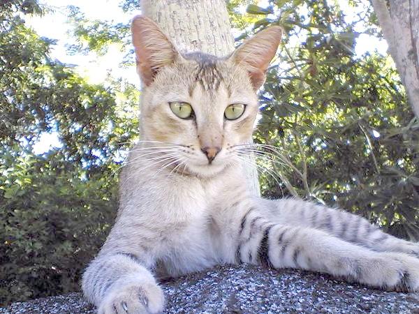 Кішка Шрі-Ланки, фото породи кішок фотографія