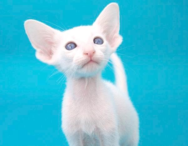 Орієнтальний кошеня, фото кішки, фотографія породи кішок