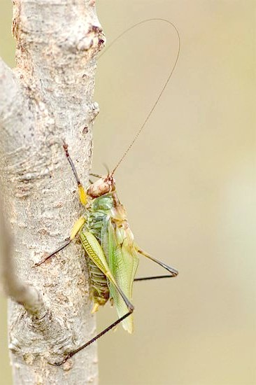 Чорноногих луговий коник (Orchelimum nigripes), фото голосу звуки комах фотографія картинка