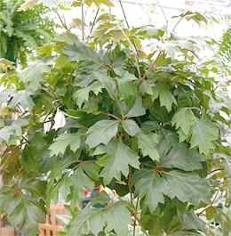 циссус ромболістний (Cissus rhombifolia), фото, фотографія з oazis.hu