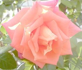 рожева троянда, фото, фотографія dogserviceclub.ru