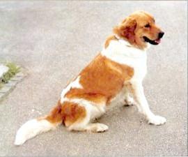 Чеська горянська собака, породи собак, фото фотографія c http://fildoo.szm.com/images/CZnoFCI%20258%20CZ%20hor%20pes.jpg