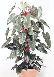 філодендрон червоніє (Philodendron erubescens), фото, фотографія з dkimages.com