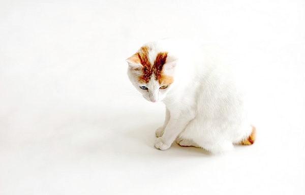 Японський бобтейл (Japanese Bobtail), фото кішки породи кішок фотографія