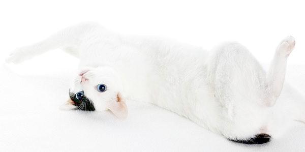 Японський бобтейл, фото кішки породи кішок фотографія картинка