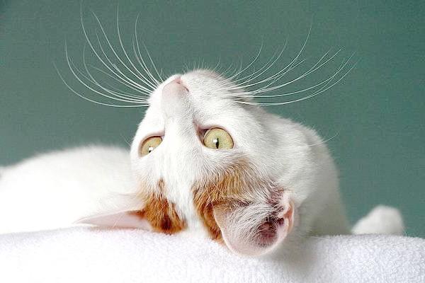Японський бобтейл, фотографія кішки фото породи кішок