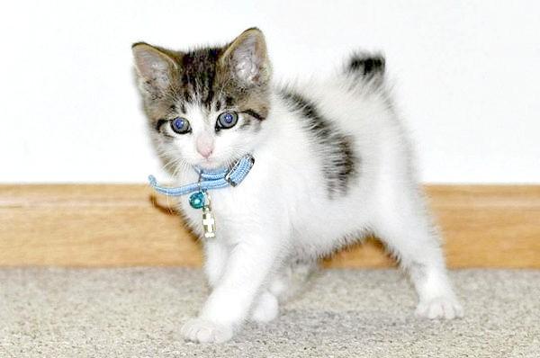 Японський бобтейл кошеня, фото фотографія кішки породи кішок