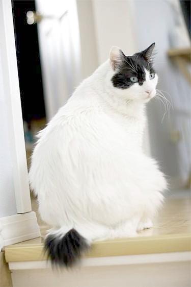 Японський бобтейл, фото породи кішок фотографія картинка