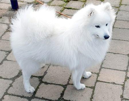 Японський шпіц, шпіц японський, фото породи собак фотографія