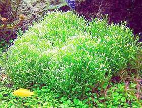 яванський мох (Vesicularia dubyana), фото, фотографія з http://akvariumas.net