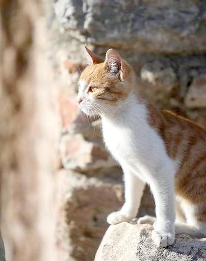 Егейська кішка (Aegean cat), фото породи кішок фотографія