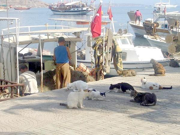 Егейська кішка (Aegean cat) на пірсі чекають рибу, фото породи кішок фотографія