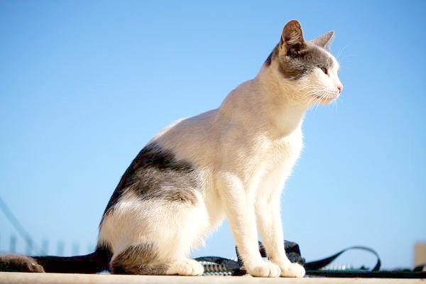 Егейська кішка, фото породи кішок зображення