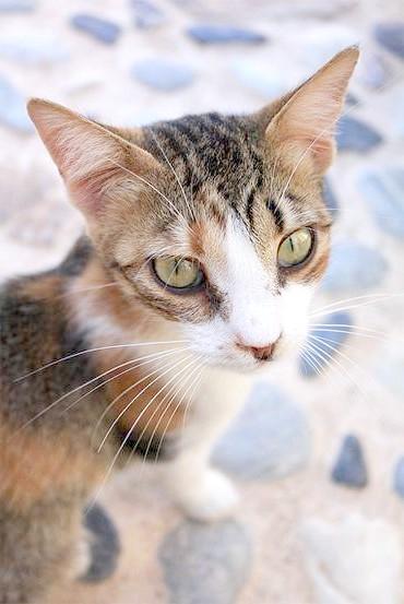 Егейська кішка, зображення породи кішок картинка