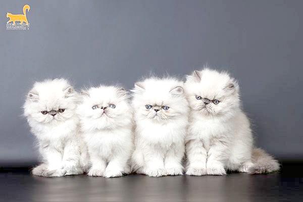 Екзот, або екзотична короткошерста кішка (Exotic Shorthair Cat), фото породи кішок фотографія