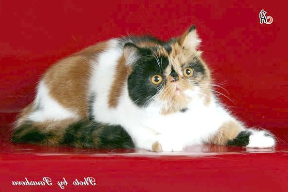 Екзот, або екзотична короткошерста кішка, фото породи кішок фотографія картинка