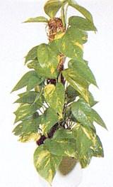 епіпремнум перистий, сциндапсус золотистий (Epipremnum pinnatum), фото, фотографія з aniana.lt