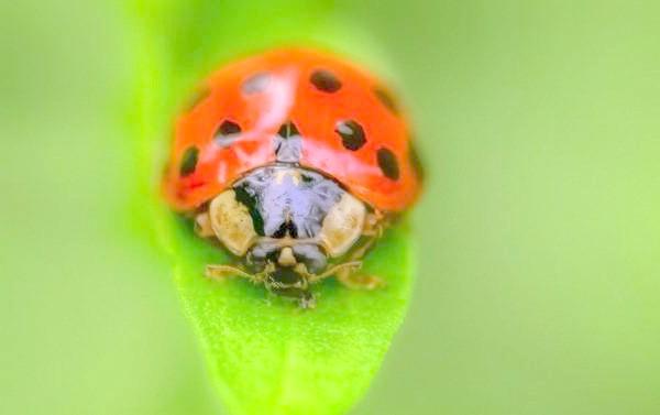 Божа корівка, фото комахи фотографія картинка
