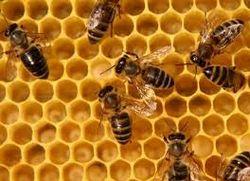 Рід: apis linnaeus = медоносні бджоли