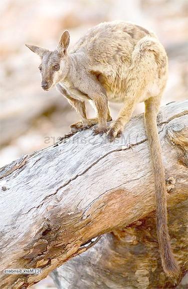 Чорноногих гірський валлабі (Petrogale lateralis), фото сумчасті тварини фотографія картинка