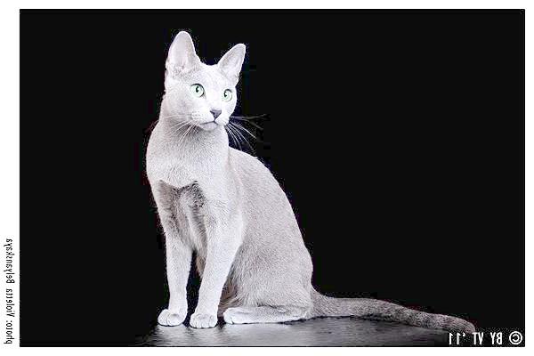 Російська блакитна, фото породи кішок зображення