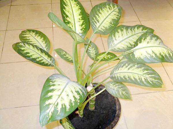 Диффенбахія плямиста (Dieffenbachia maculata), фото рослини фотографія
